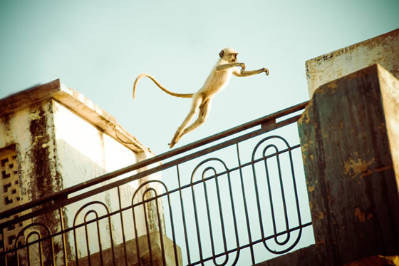 leaping langoor monkey on Rajasthani rooftop